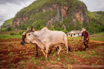 Feldarbeit im Tal von Vinales, fotografiert am 1. Juni 2009.