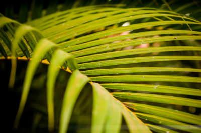 Blatt einer Palme, fotografiert in Vinales am 20. Mai 2008.