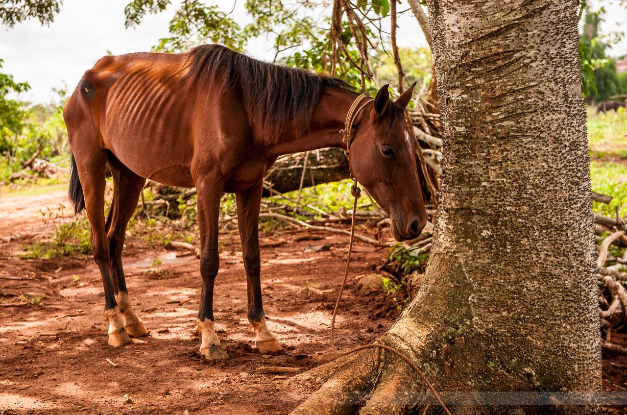 Pferd im Schatten, fotografiert im Tal von Vinales am 1. Juni 2009.