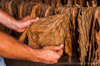 Tabakblatt und Arbeiterhände, fotografiert in San Juan y Martinez am 2. Juni 2009.
